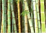 Poster de Rob TILLEY Forêt de Bambous