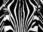Photo noir et blanc de Rocco Sette Black & White I (Zebra)