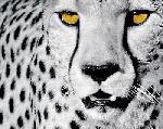 Photo de Rocco Sette White Cheetah
