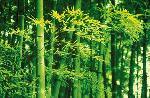 Photo de Dave Brüllmann Bamboo in Spring