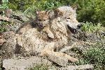 Affiche loup et son petit