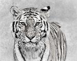 Poster tiger in black & white