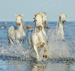 Poster chevaux of Camargue