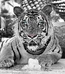 Affiche noir & blanc d'un Tigre