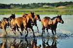Affiche de chevaux au galop