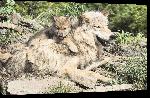Toiles imprimées Affiche loup et son petit