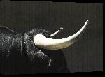 Toiles imprimées Poster corne de taureau
