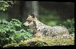 Toiles imprimées Affiche loup sur son rocher