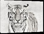 Toiles imprimées Poster tiger in black & white