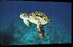 Toiles imprimées Poster tortue of sea