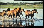 Toiles imprimées Affiche de chevaux au galop