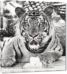 Toiles imprimées Affiche noir & blanc d'un Tigre