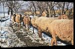 Toiles imprimées Photo moutons en Afghanistan