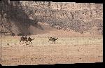 Toiles imprimées Photo chameau dans le désert du Sahara en Algérie