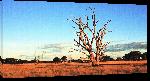 Toiles imprimées Photo arbre dans le désert Australien