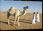 Toiles imprimées Photo chameau dans le désert d'Arabie Saoudite