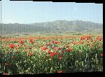 Toiles imprimées Photo champ de coquelicots montagne en Arménie