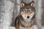 Portrait d'un Loup Gris