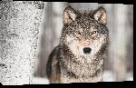 Toiles imprimées Portrait d'un Loup Gris