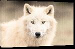 Toiles imprimées Photo d'un Loup Blanc