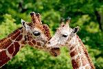 Photo d'un Girafe et de son Girafon