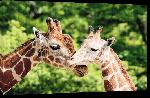 Toiles imprimées Photo d'un Girafe et de son Girafon