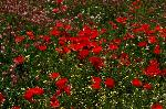 Photo Champ de Coquelicots - Aveyron