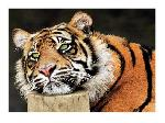 Photographie de Toni Wallbank Lazy Tiger