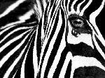 Poster noir et blanc de Rocco Sette Black & White II (Zebra)