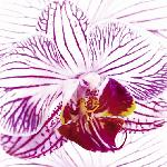 Affiche de Mel Allen Orchid I