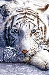Poster photo d'un tigre blanc