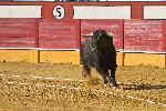 Affiche taureau dans la corrida 1