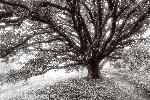 Poster arbre black & white