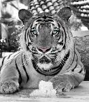 Poster tiger blanc