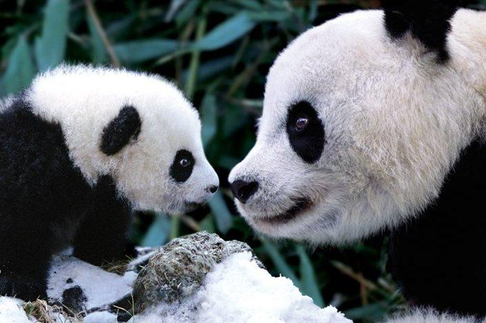 photo d 39 un b b panda et de sa maman acheter photo d 39 un b b panda et de sa maman 506. Black Bedroom Furniture Sets. Home Design Ideas