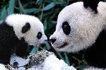 Photo d'un bébé panda et de sa maman