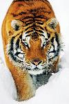 Affiche d'un Tigre dans la neige