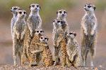 Photo d'une famille de Meerkats