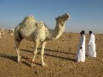 Photo chameau dans le désert d'Arabie Saoudite