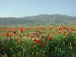 Photo champ de coquelicots montagne en Arménie