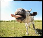 Toiles imprimées Affiche de vache humouristique