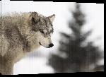 Toiles imprimées Poster loup sauvage