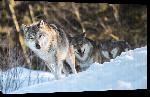 Toiles imprimées Affiche meute de loup