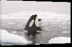 Toiles imprimées Poster photo d'un orque