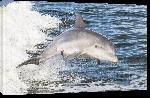 Toiles imprimées Poster photo d'un dauphin dans l'océan