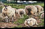 Toiles imprimées Poster moutons d'Ecosse
