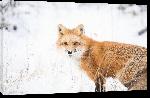 Toiles imprimées Photo d'un Renard sous la neige