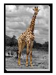 Tableau imprimée sur toile Photo Girafe