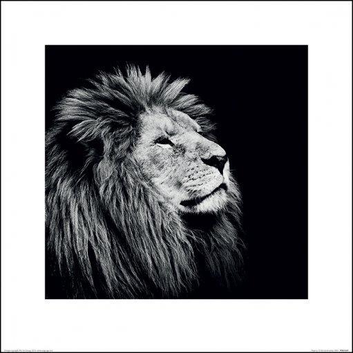 affiches posters affiche art print noir blanc d 39 un lion. Black Bedroom Furniture Sets. Home Design Ideas