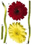 Sticker Gerbera